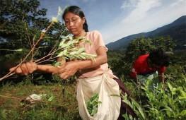 mulheres_colheita